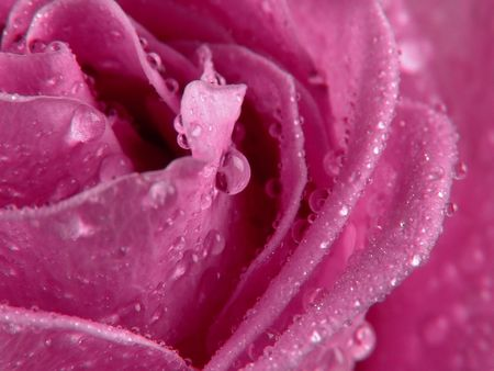 roseleaf: Detail of rose with drops of water.