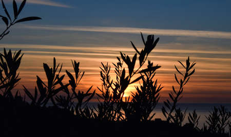 sunset with striped sky, where different colors blend, black shadows in silhouette are olive branches