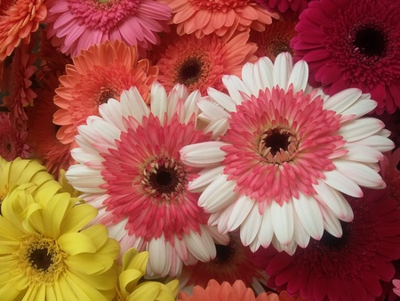 assorted gerbera collection
