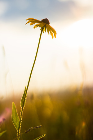 Yellow and black flower in meadow during beautiful sunset