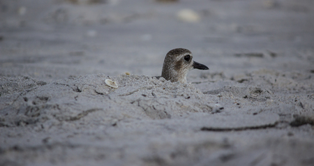 small willet peeking out of a hole in the sand
