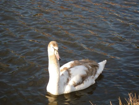 A young swan