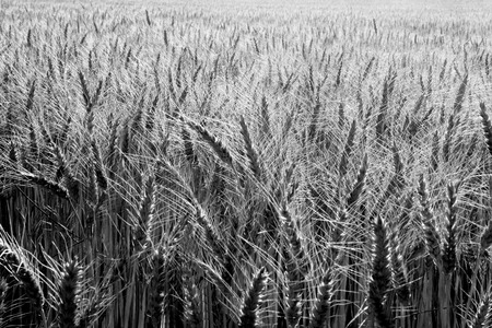wheat field and black and white 版權商用圖片 - 45454812