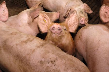 pigpen: Pigs on the farm