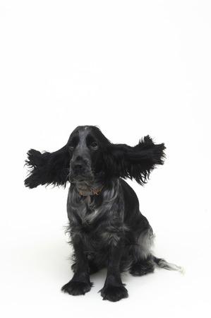 deployed: dog Cocker Stock Photo