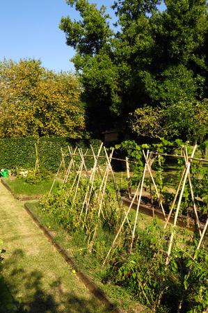 runner bean: Vegetable garden