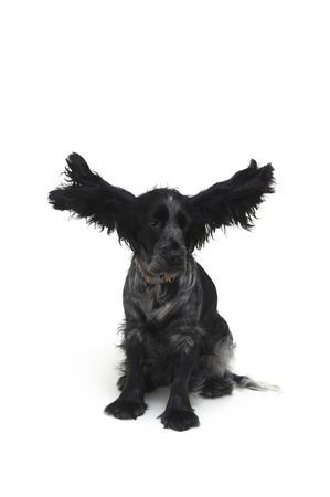 cocker: dog Cocker,