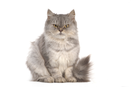 persian: grey persian cat