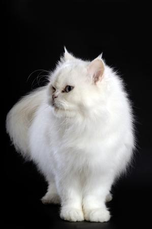 persian cat: white persian cat