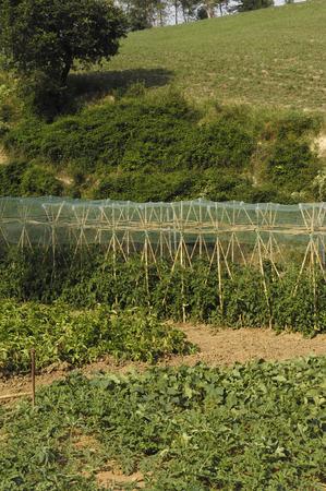 runner bean: natural vegetable garden