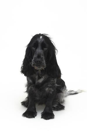 cocker: dog Cocker Stock Photo