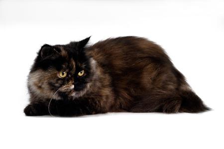 persian cat: persian cat