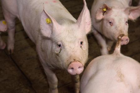 pigpen: pigs Stock Photo