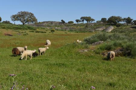 Sheep grazing in a landscape near Crato, Alentejo region, Portugal Stock Photo