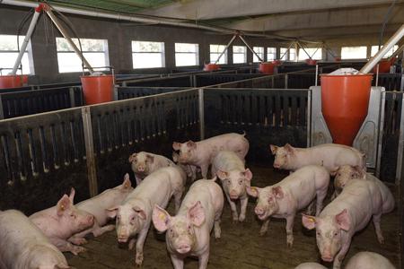 肥育養豚場の中 写真素材