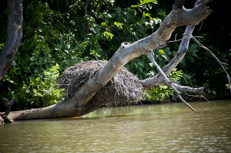 Nest in the Gambia River. Picture of a crane nest in a tree on the waters of the river Gambia. Stock Photo