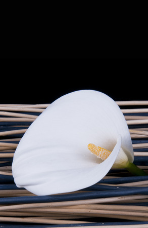 closeness: white lily on colored canes with black background