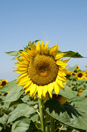 a sunflower: Planting sunflowers in Bellvis, Catalonia, Spain