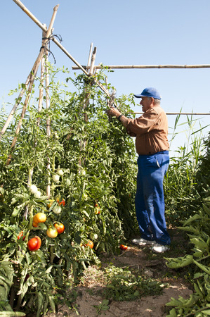 old farmer: old farmer picking tomatoes in his plantation