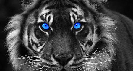 tigre avec l & # 39 ; oeil