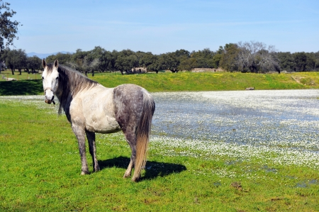 Old white horse in front of the lagoon spring Stock Photo - 21202170