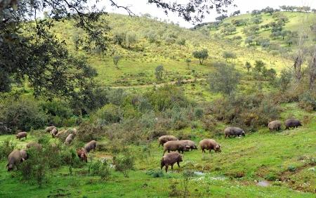 ecosistema: Sapanish cerdos en el prado de la Sierra de Huelva Foto de archivo