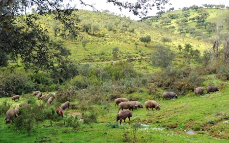 Sapanish pigs in the meadow of Sierra de Huelva Stock Photo