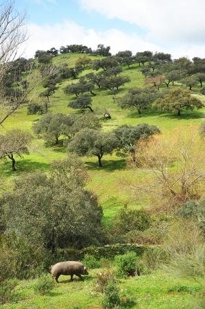 Porc ibérique dans la prairie andalou, Sierra de Huelva Banque d'images - 21174766