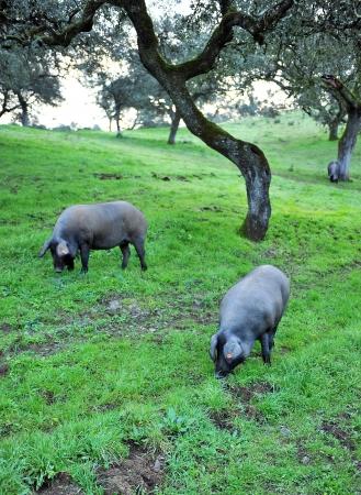 Zwei Iberische Schweine auf der Wiese Standard-Bild - 21174768
