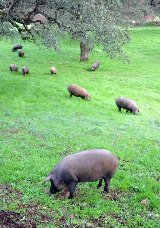 andalucia: Iberian pigs in the meadow of Andalucia Stock Photo