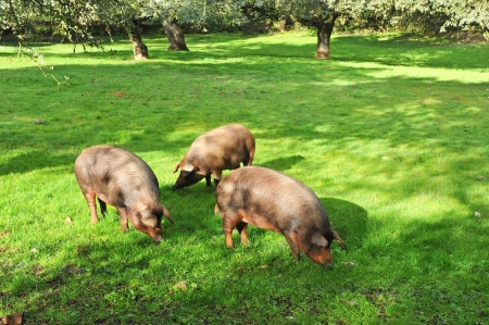 iberian: Iberian pigs in the meadow of Extremadura