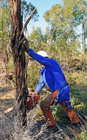 Das Fällen von Bäumen in einem Wald von Eukalyptusbäumen mit einer Kettensäge Standard-Bild - 22557226