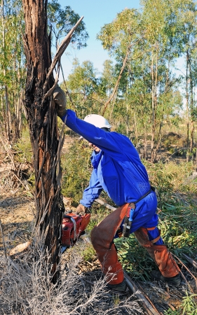 Felling of trees in a forest of eucalyptus trees with a chainsaw Stock Photo