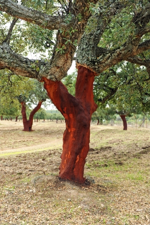 extracting: Removing the cork, cork oak forest, Andalucia, Spain