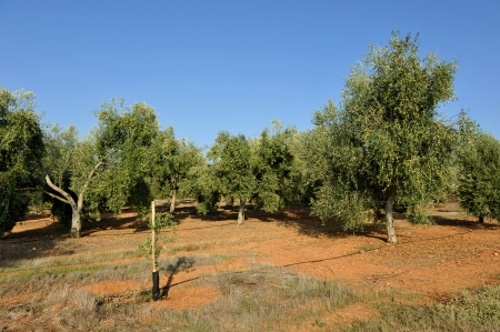 irrigated: Olive cultivation in irrigated field
