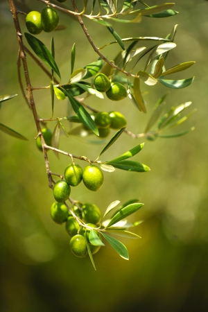Olives on olive tree, close up Stock Photo