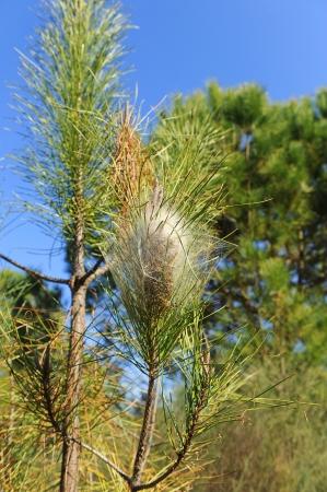 diseased: Diseased pine, plague of pine processionary