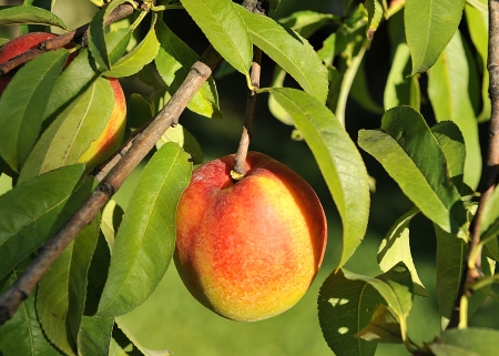 Nectarine on the tree, ecological agriculture Stock Photo