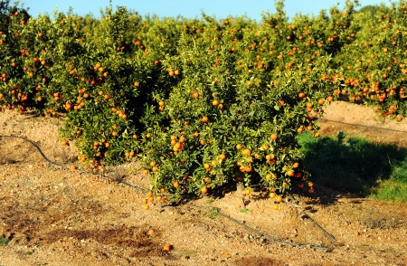 irrigated: Orange plantation in irrigated field Stock Photo