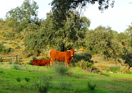 extremadura: Two calves grazing in the field, livestock farm, Spain