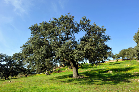 mediterranean forest: The meadow in spring, Sierra Norte of Seville, Andalucia, Spain, Southern Europe Stock Photo
