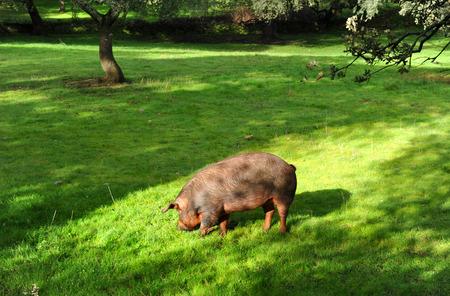 Iberians pigs in the Sierra de Huelva, Andalusia, Spain Pigs photo