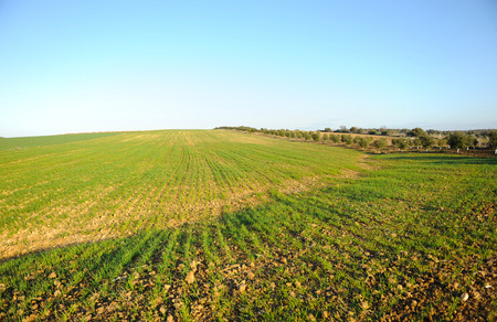 extensive: Extensive field of cereals in spring, agricultural estate, Spain Stock Photo