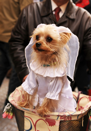Dog dressed in carnival, Cadiz, Andalusia, Spain photo