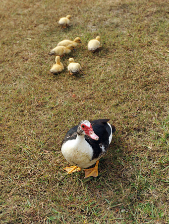 muscovy duck: Muscovy duck with her ducklings in the field