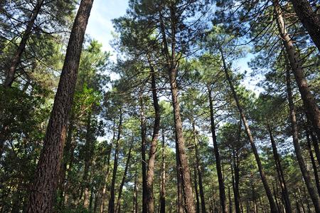mediterranean forest: Pine forest in Sierra Morena, Fuencaliente, Ciudad Real province, Castilla la Mancha, Spain