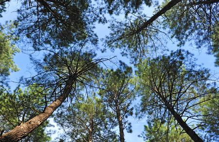 castilla la mancha: Pine forest seen from below, Sierra Morena, Fuencaliente, Ciudad Real, Castilla la Mancha, Spain