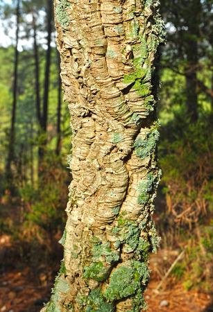 castilla la mancha: Trunk of cork oak, cork, forest in Sierra Morena, Fuencaliente, Ciudad Real province, Castilla la Mancha, Spain