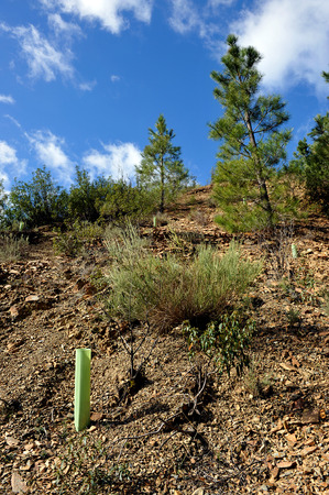 reforestation: Reforestation of a pine forest after a wildfire Stock Photo
