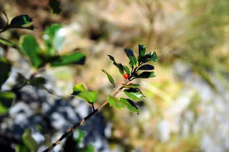 ilex aquifolium holly:  Holly Branch, Ilex aquifolium, Hurdes, Caceres Province, Extremadura, Spain